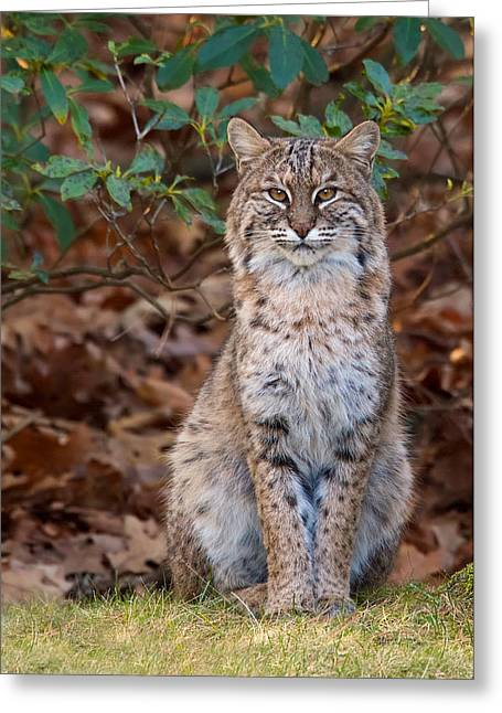 Bobcats Photographs Greeting Cards - The Pose Greeting Card by Dale J Martin