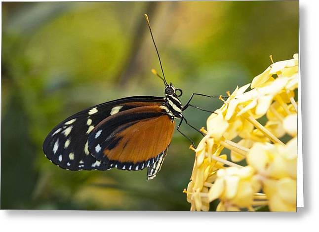 Postman Greeting Cards - The Postman Butterfly  Greeting Card by Saija  Lehtonen