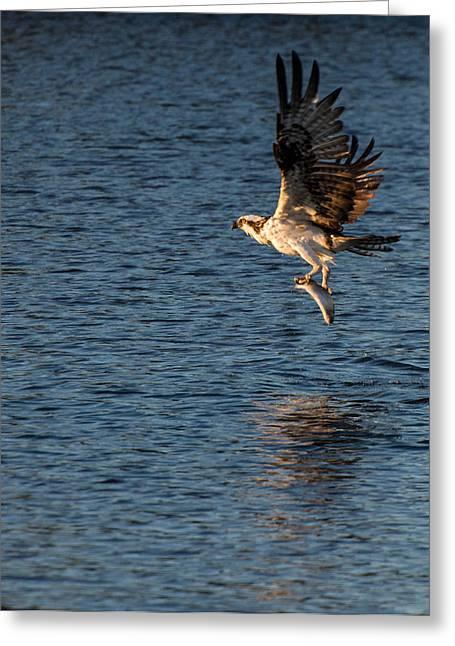 Arizona Wildlife Greeting Cards - The Predator  Osprey Greeting Card by Martina Thompson