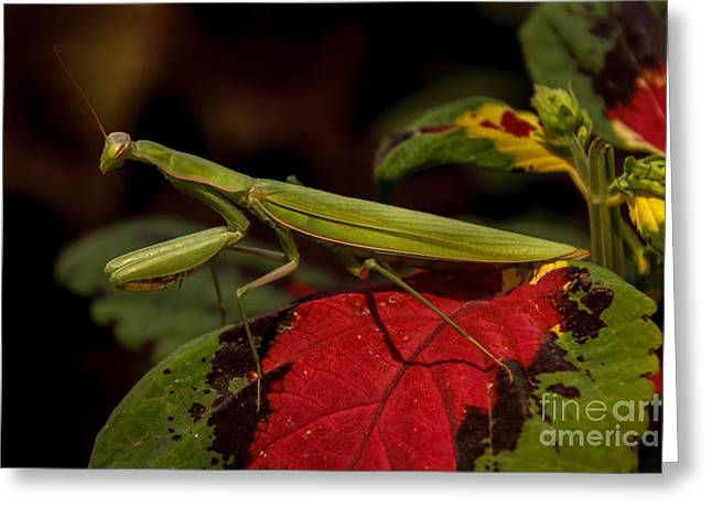 Invertebrates Greeting Cards - The Predator Greeting Card by Robert Bales