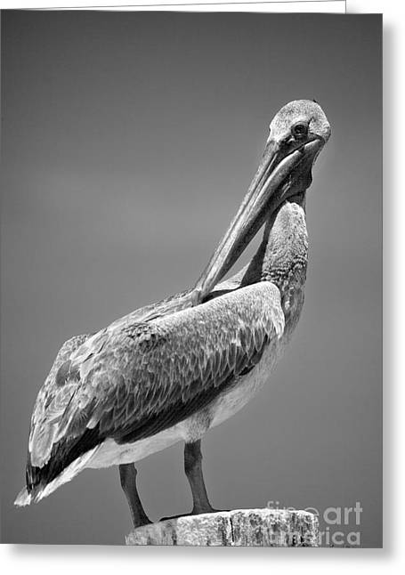 Proper Greeting Cards - The Proper Pelican Greeting Card by Michelle Wiarda