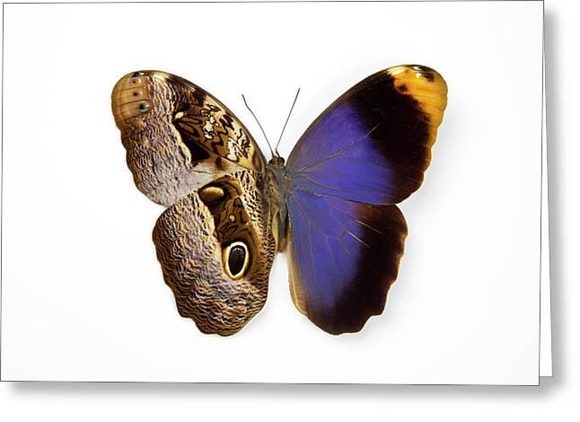 The Purple Owl Butterfly, Caligo Greeting Card by Darrell Gulin