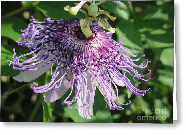 Passiflora Paintings Greeting Cards - Ornament of Purple Passion Greeting Card by Kimberlee  Baxter