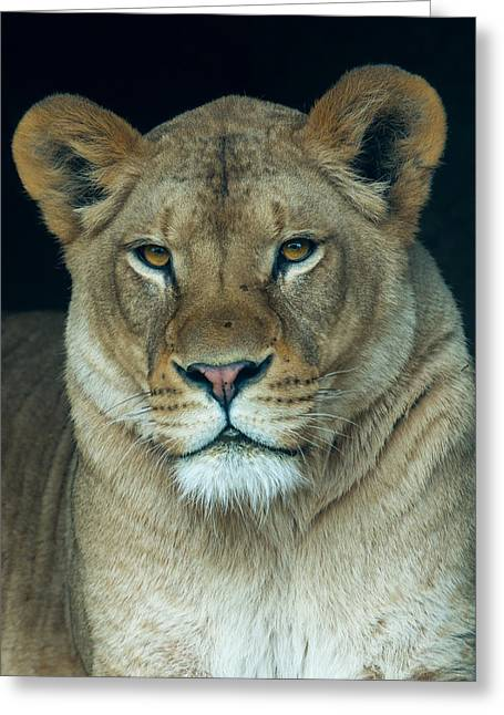 Lioness Greeting Cards - The Queen Greeting Card by Phil Abrams