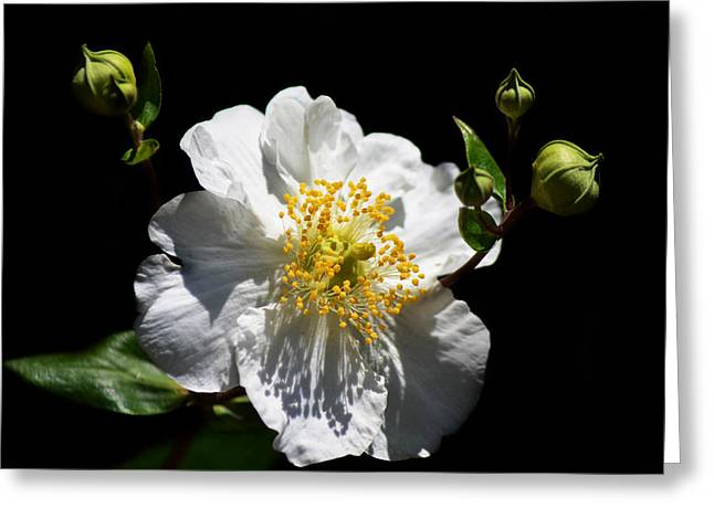 Stamen Digital Art Greeting Cards - The Queens Council Greeting Card by Camille Lopez