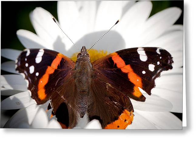 Buterfly Greeting Cards - The Red Admiral Butterfly Greeting Card by David Patterson