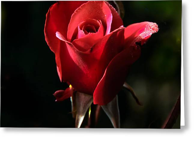 The Red Rode Bud Greeting Card by Robert Bales