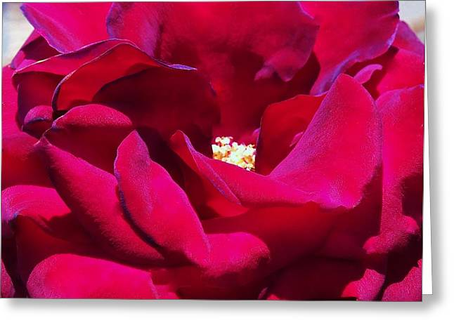 The Red Velvet Rose Greeting Card by Jan Moore