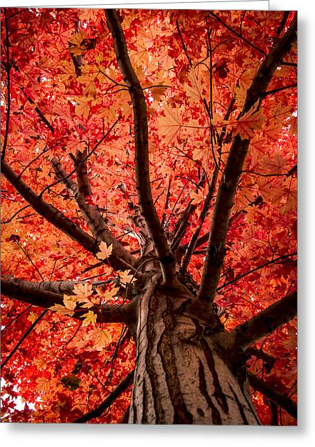 Red Maple Tree Branches Greeting Cards - The Reds of Fall Greeting Card by Teri Virbickis