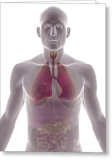 Abdominal Greeting Cards - The Respiratory And Digestive Systems Greeting Card by Science Picture Co