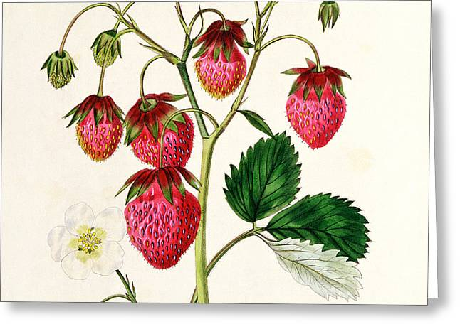 Roses In Bud Greeting Cards - The Roseberry Strawberry Greeting Card by Edwin Dalton Smith