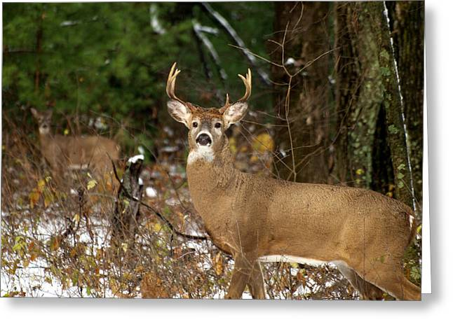 The Rutting Whitetail Buck Greeting Card by Thomas Young