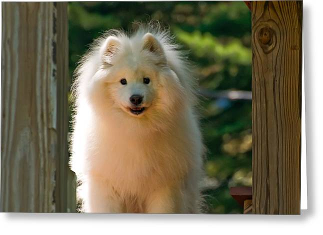 Sled Dogs Greeting Cards - The Samoyed Smile Greeting Card by Lois Bryan