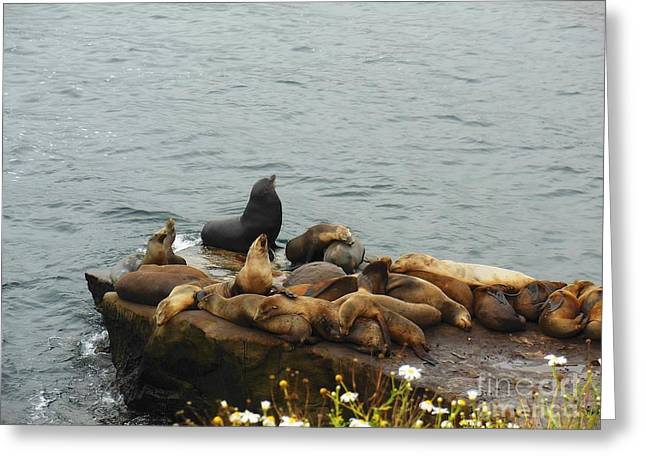 California Sea Lions Greeting Cards - The Sea Lion and His Harem Greeting Card by Mary Machare
