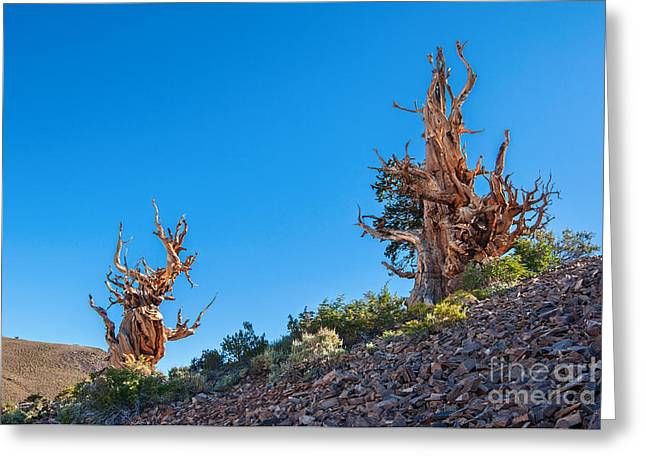 Oldest Living Tree Greeting Cards - The Sentinels - Ancient Bristlecone Pine Forest. Greeting Card by Jamie Pham