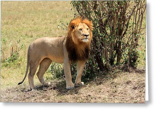 Lions Greeting Cards - King Of The Savannah Greeting Card by Aidan Moran