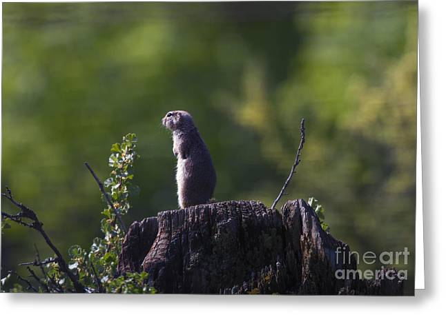 Squirrel Greeting Cards - The Sentry Greeting Card by Mike  Dawson