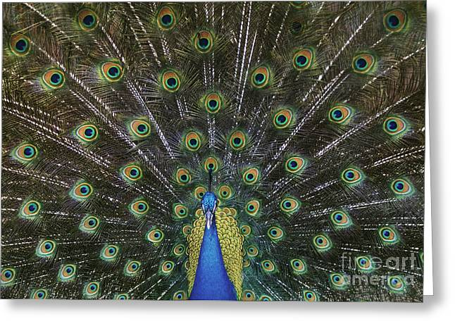 Large Bird Greeting Cards - The Show Off Greeting Card by Sandra Bronstein