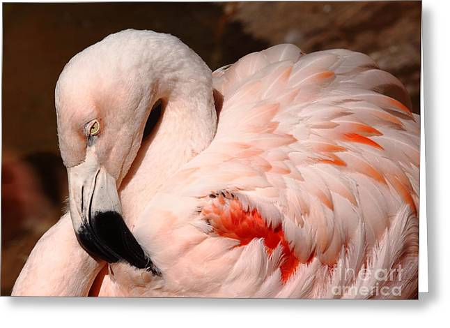 Frederick Greeting Cards - The Shy Flamingo Greeting Card by Robert Frederick