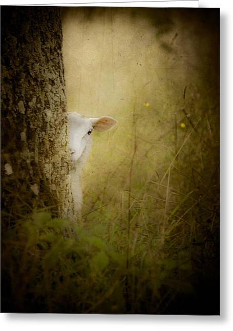 Precious Baby Greeting Cards - The Shy Lamb Greeting Card by Loriental Photography