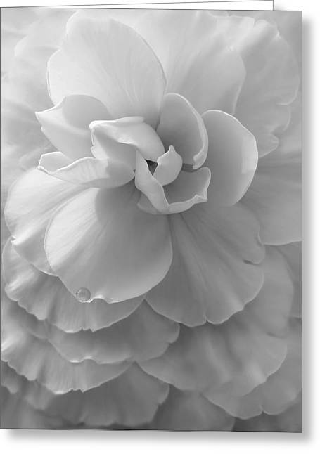Begonias Greeting Cards - The Silver Lady Begonia Flower Greeting Card by Jennie Marie Schell