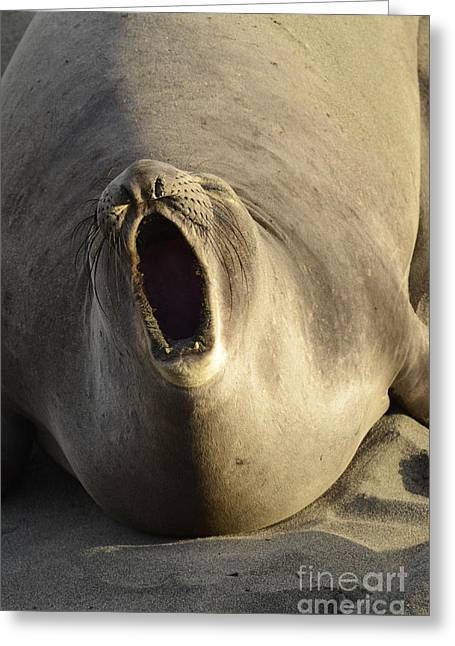 Mating Season Greeting Cards - The Singing Seal Greeting Card by Bob Christopher