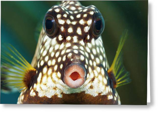 The Smooth Trunkfish  Lactophrys Greeting Card by Dave Fleetham