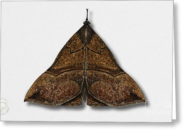 Antenna Drawings Greeting Cards - The Snout Hypena proboscidalis - La Noctuelle a museau - Bruine snuituil - Snudeugle - Neslenebbfly Greeting Card by Urft Valley Art