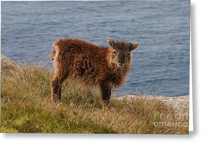 Breeds Greeting Cards - The Soay Sheep  Greeting Card by Rob Hawkins