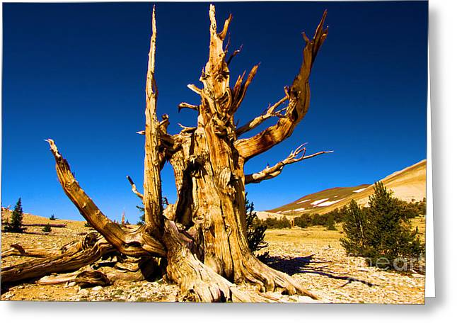 Oldest Living Tree Greeting Cards - The Sorcerer Greeting Card by Adam Jewell