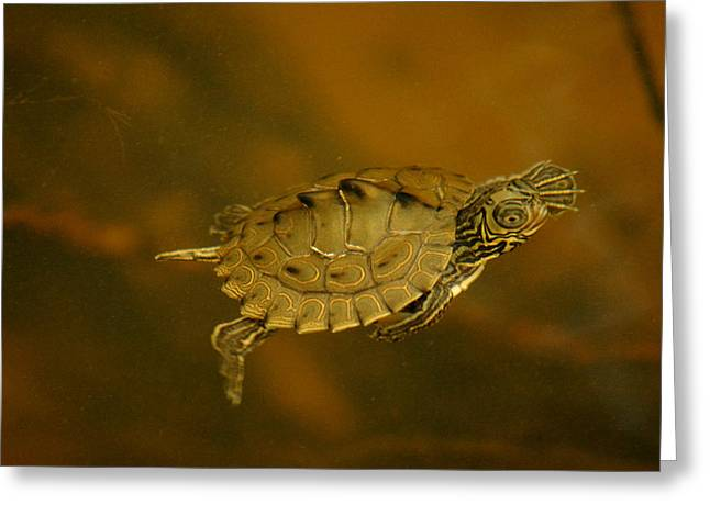 Kim Pate Greeting Cards - The Southeastern Map Turtle Greeting Card by Kim Pate