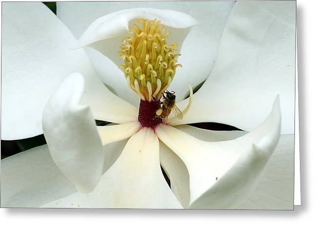 Kim Pate Greeting Cards - The Southern Magnolia Greeting Card by Kim Pate