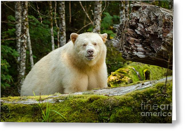 White Fur Greeting Cards - The Spirit Bear Greeting Card by Melody Watson