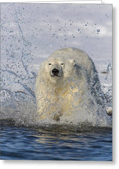 Polar Bear Standing Greeting Cards - The Splashy Entrance Greeting Card by Tim Grams
