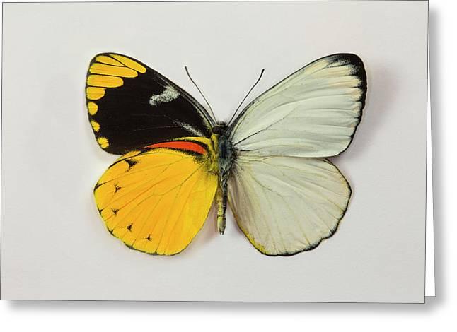 The Splendid Butterfly, Delias Greeting Card by Darrell Gulin