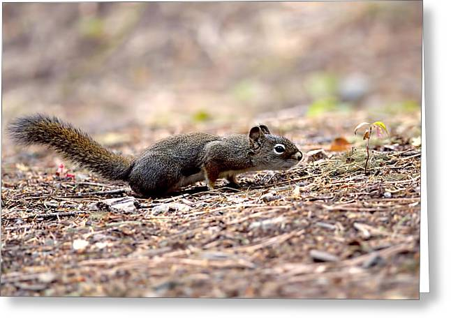 Tree Squirrel Greeting Cards - The Squirrel and the Seedling Greeting Card by Sharon  Talson