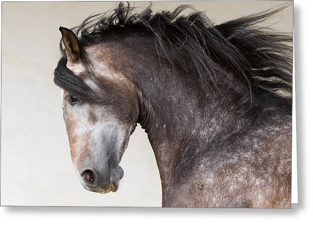 Andalusian Greeting Cards - The Stallion Runs Greeting Card by Carol Walker