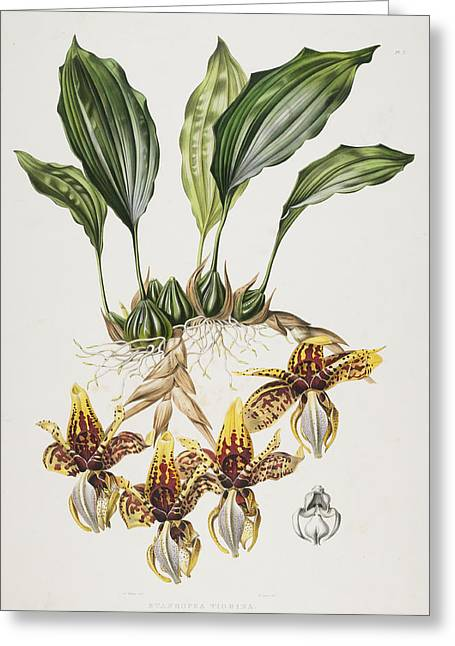 Colorful Orchid Greeting Cards - The Stanhope Tiger Orchid Greeting Card by Maxim Gauci