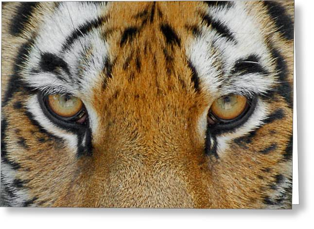 Wildcats Greeting Cards - The Stare Greeting Card by Ernie Echols
