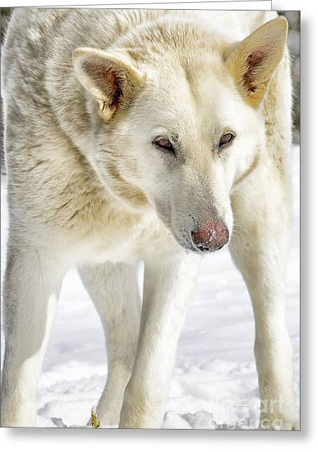 Guard Dog Greeting Cards - The Stare Greeting Card by Thomas R Fletcher