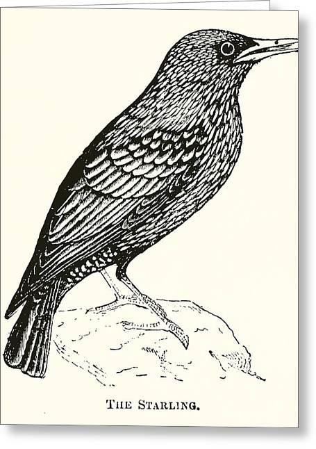 Norfolk Greeting Cards - The Starling Engraving Greeting Card by English School