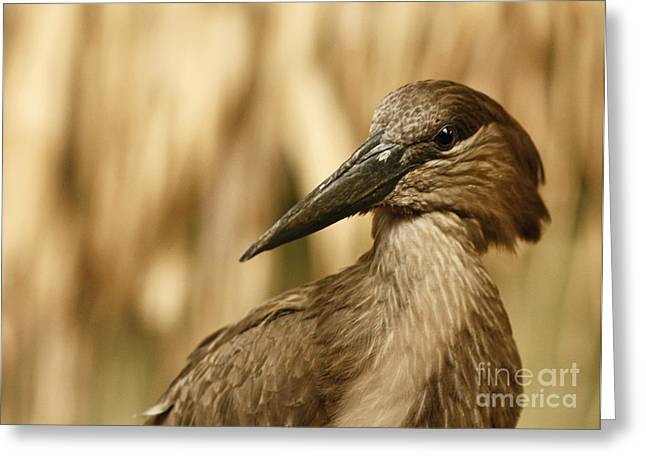 Shelley Myke Greeting Cards - The Strange African Hammerkop Pelican  Greeting Card by Inspired Nature Photography By Shelley Myke