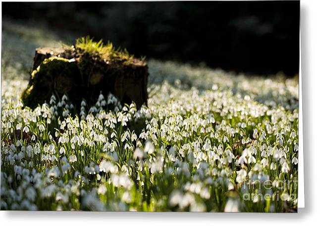 Wintry Photographs Greeting Cards - The Stump and the Snowdrops Greeting Card by Anne Gilbert