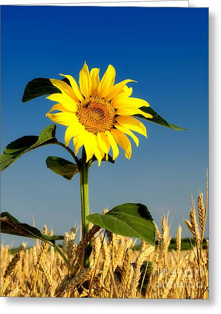 Plants For Delivery Greeting Cards - The Sunflower in Wheat Greeting Card by Boon Mee