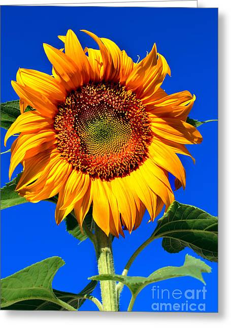 Haybales Greeting Cards - The sunflower Greeting Card by Robert Bales