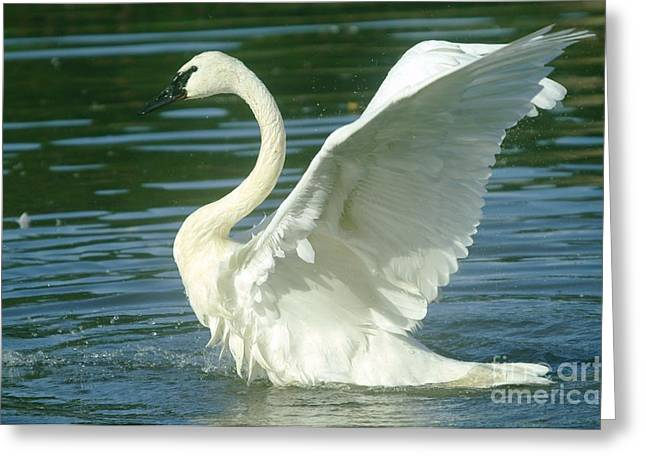 Swans... Greeting Cards - The Swan Rises  Greeting Card by Jeff  Swan