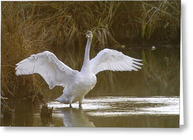Water Fowl Greeting Cards - The Swan Spreads Its Wimgs Greeting Card by Jeff  Swan