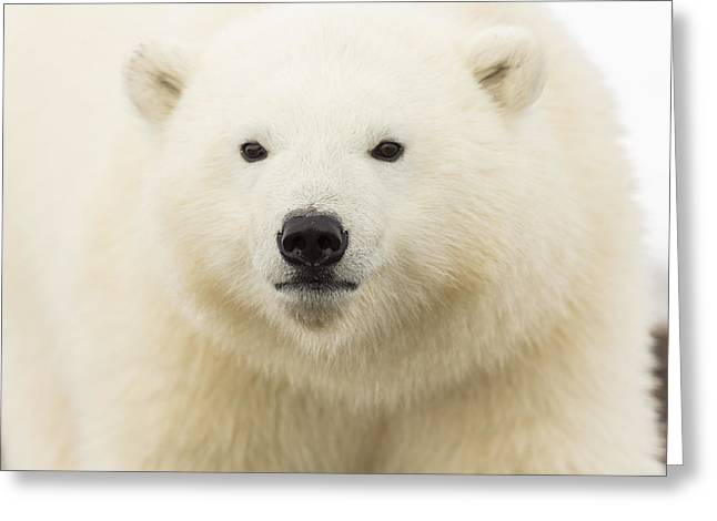 Polar Bear Standing Greeting Cards - The Sweet Innocence of Youth Greeting Card by Tim Grams