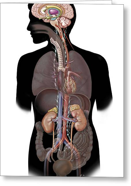 Genitourinary System Greeting Cards - The Sympathetic Nervous System Greeting Card by TriFocal Communications