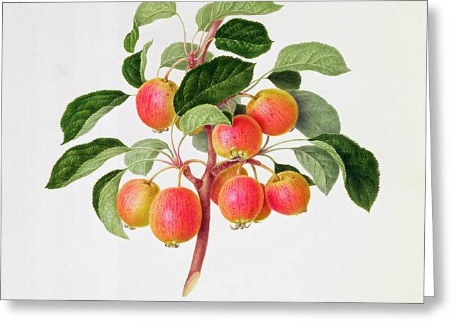 The Tartarian Crab Apple Greeting Card by William Hooker